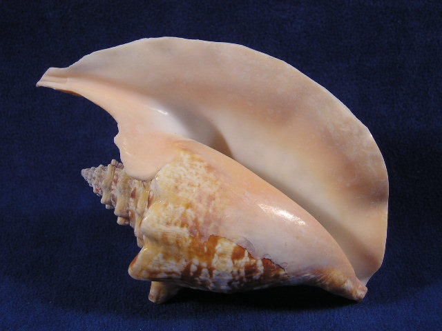 Conch-shell Items
