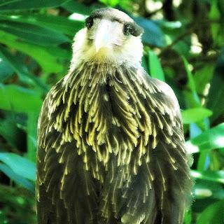 Gavião Fêmea em Toco de Árvore, no Chão - Parque Saint Hilaire, Viamão