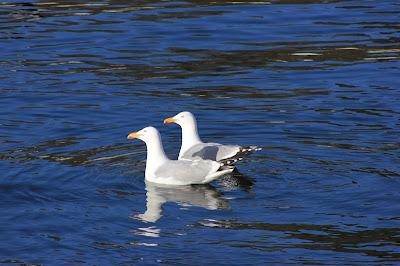 Schwimmende Silbermöwen in der Kieler Förde