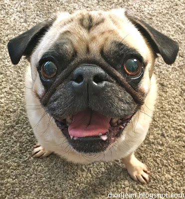 Liam the pug caught in a smile