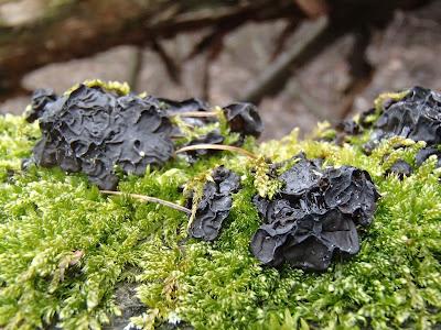 grzyby w zimie, grzyby w lutym, zimowe grzybobranie, uszaki, zimówki, boczniaki, łycznik późny, kisielnica, żylak, orzechówka mączysta