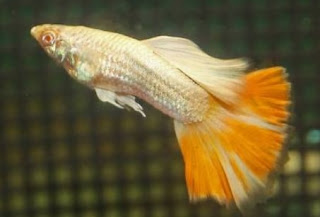 Jenis ikan guppy grass