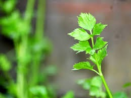 http://indonesian-herbal-medicine.blogspot.com/2015/02/hypertension-medications-with-celery.html