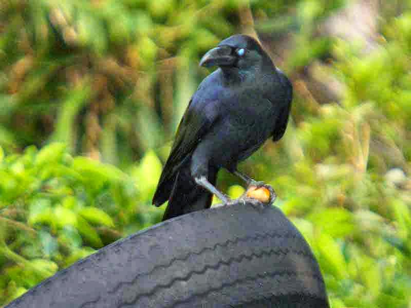 blue-eyed crow, discarded tire