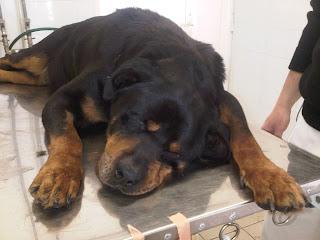 Pas sa vestibularnim sindromom Panvet veterinarska ambulanta Subotica