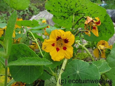 bladluizen bestrijden, ecologisch, oost-indische kers