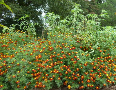 antique marigolds propping up Amish Paste tomatoes