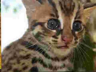 apa itu kucing Hutan? Mari mengenal lebih dekat