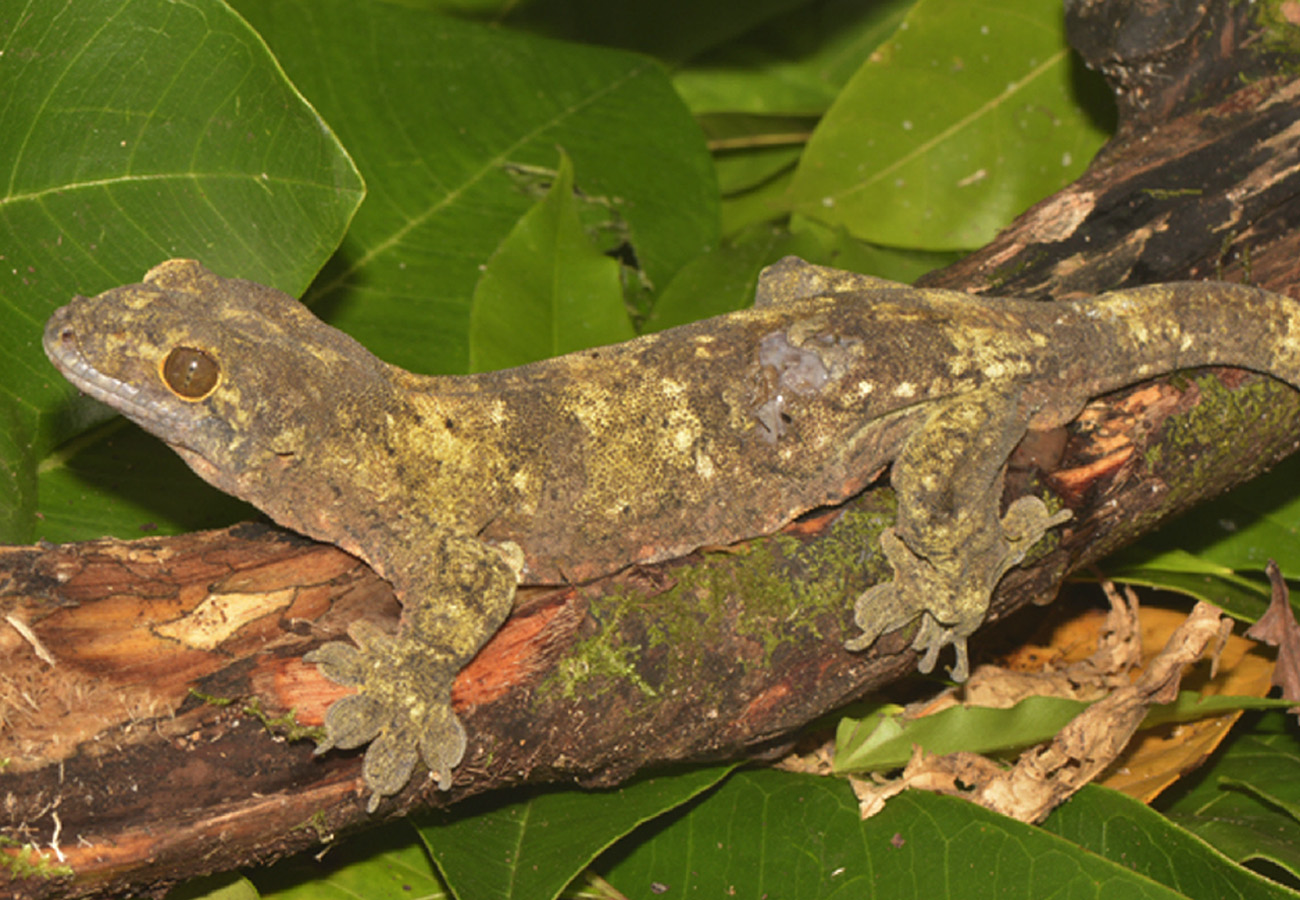 A giant gecko from the East Melanesian Islands