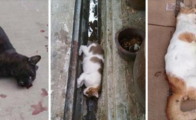Heboh! Misteri Pembantaian Kucing Berantai Di Singapura