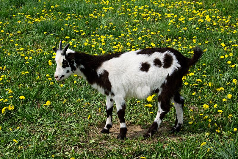 Mielec,Wisłoka,łąki,kozy