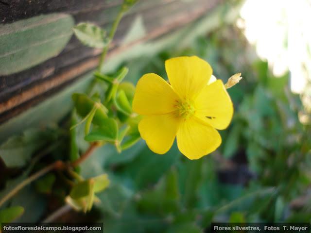 Flores Y Plantas Silvestres Oxalis Pes Caprae Vinagrillo De