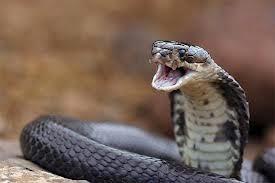 Kobra Asia