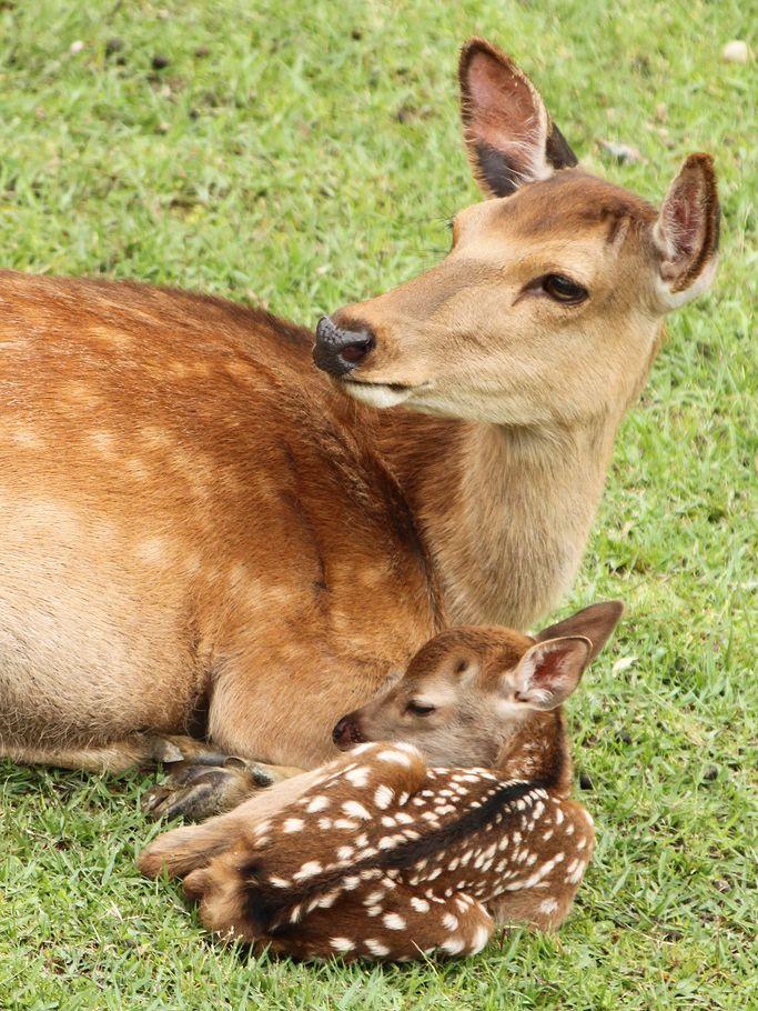 NARAWALK GUIDE's JOURNAL: New Born Baby Deer