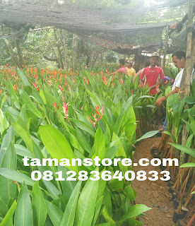 Harga pisang heliconia