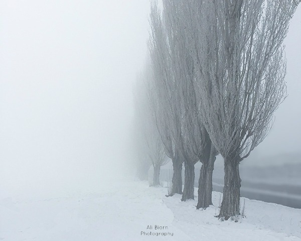 lombardy poplars disappearing into the fog on a snowy morning