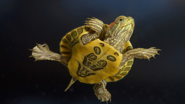 Grote schildpad onderwater