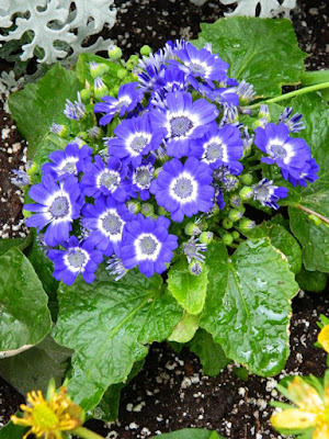 Blue Cineraria at the Allan Gardens Conservatory 2018 Spring Flower Show by garden muses-not another Toronto gardening blog
