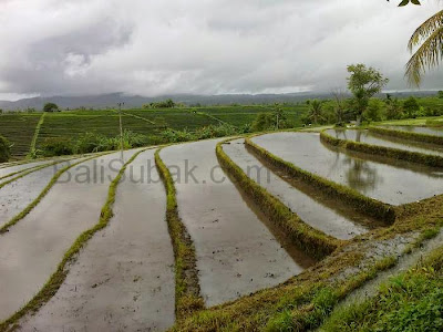 Water in rice fields