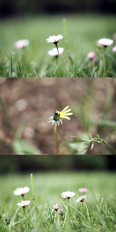 Collage aus Gänseblümchen im Rasen und Löwezahn { by it's me! }