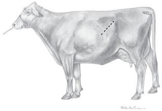 Teknik Operasi Caesar pada Hewan (Bedah Genitalia)