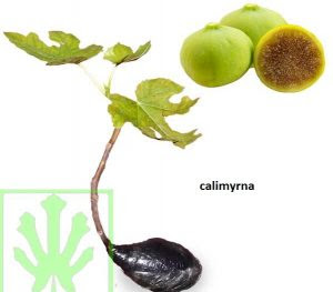 bibit-buah-tin-calimyrna.jpg