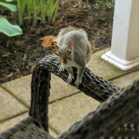 image of a grey squirrel sitting on the arm of a chair on my front porch, peering at me through the window