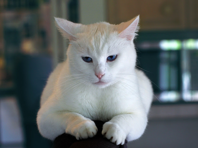 white cat image