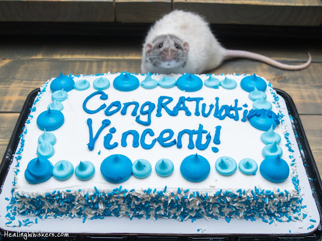 Vincent the therapy rat celebrating with a cake
