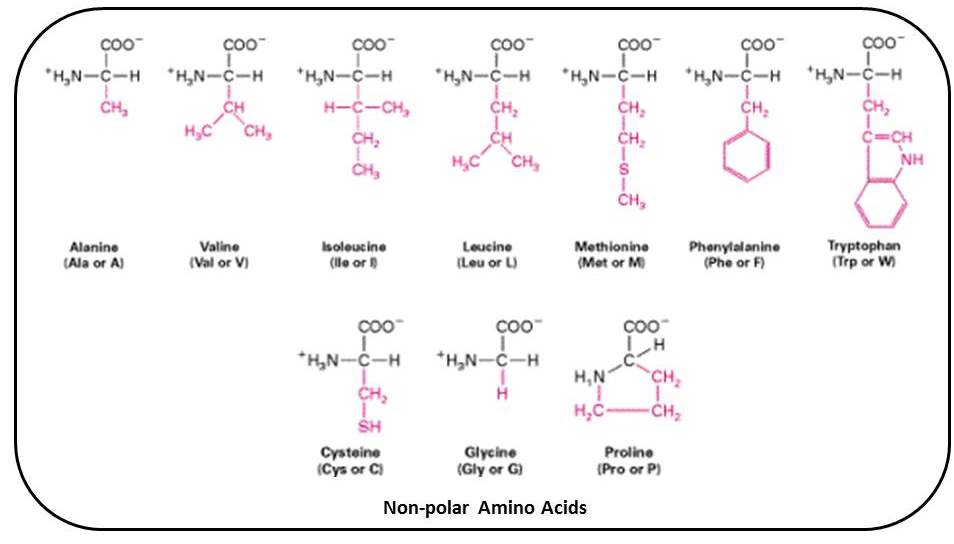 B for Biology: Biomolecules of Cell - Proteins (Amino Acids)
