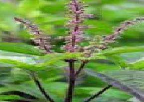 Tulsi Herbs