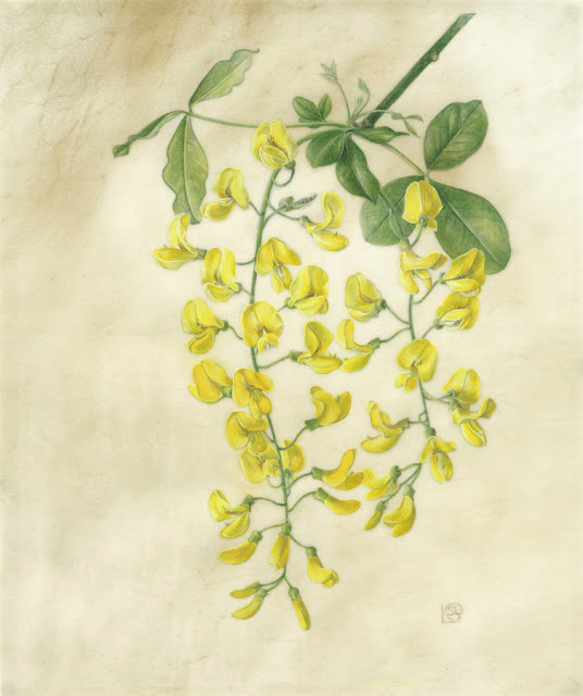 Laburnum anagyroides painting by Shevaun Doherty