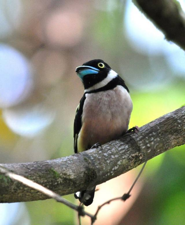 Eurylaimus ochromalus Black-and-yellow Broadbill - Ryan
