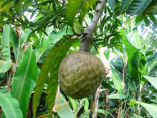 Manoao Fruit pictures