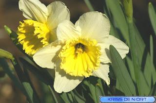 Narcisse trompette - Narcissus pseudonarcissus - Narcisse jaune