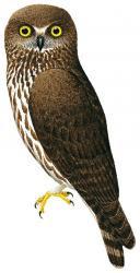 Ninox scutulata
