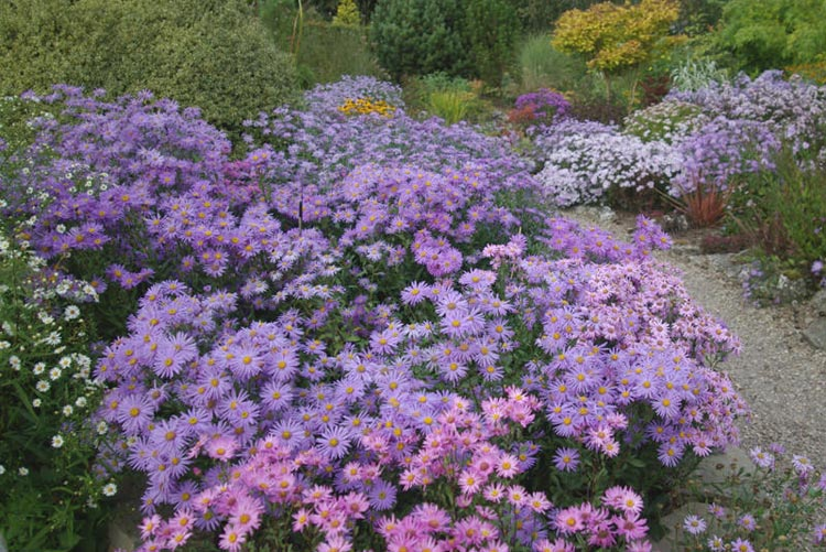 Aster amellus cultivars - Foto The Picton Garden
