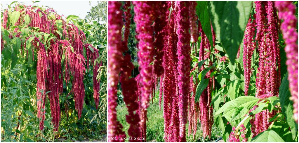 Największe Kwiaty Jednoroczne 8 Gigantów Na Rabaty Bez