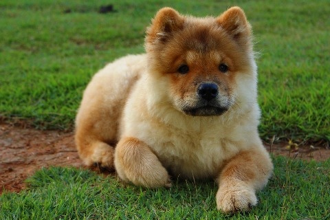 chow-chow-my-list-mag