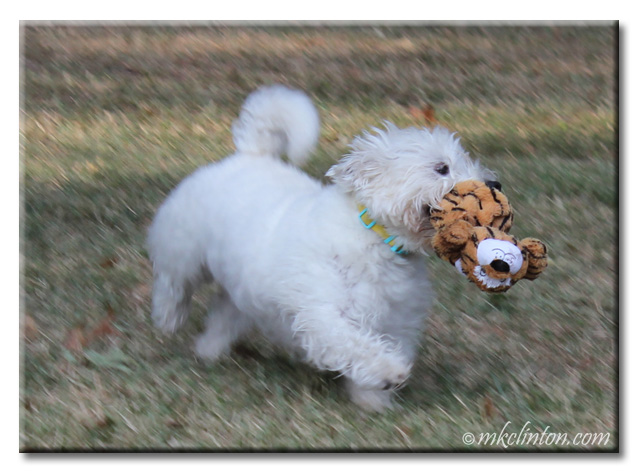 Westie running with toy tiger in his mouth