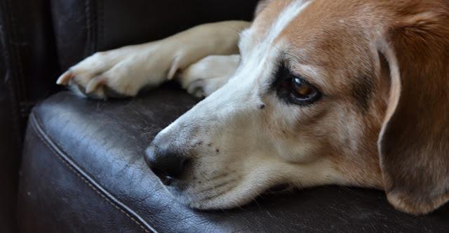 Veterinario revela qué es lo que sienten los perros antes de morir