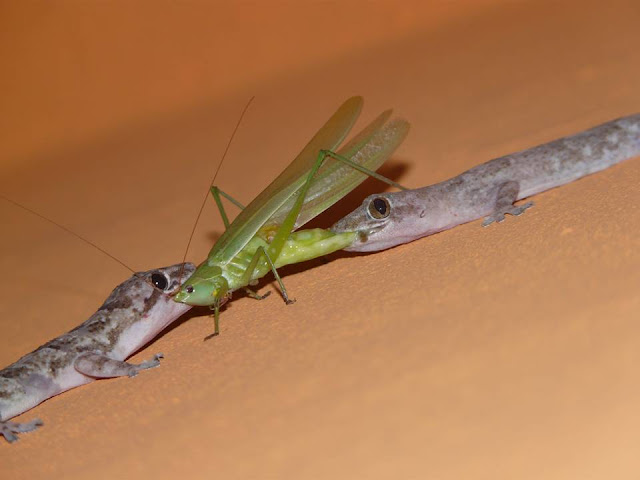 As lagartixas não mordem, não são venenosas, nem transmitem doença.