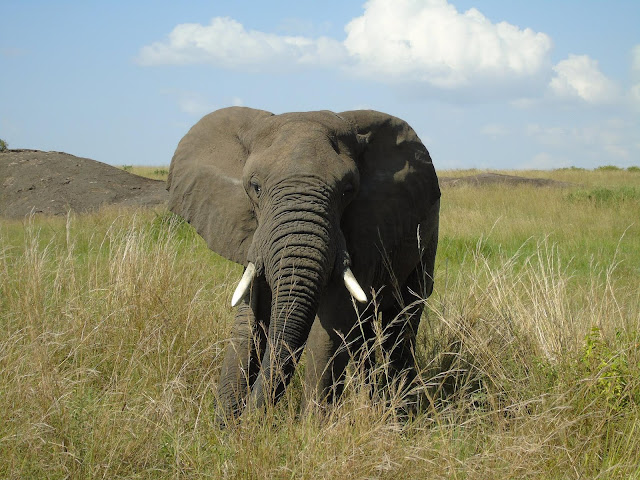 Male adult elephant Masai Mara Safari