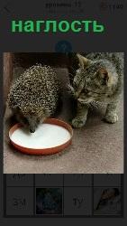 наглый ежик пьет молоко в миске у кошки, которая стоит рядом
