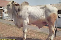 sapi ongole jenis-jenis sapi pedaging asli indonesia atau sapi pedaging lokal