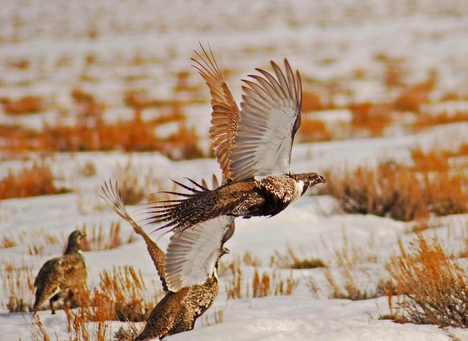 Gallo de las Artemisas: Centrocercus urophasianus