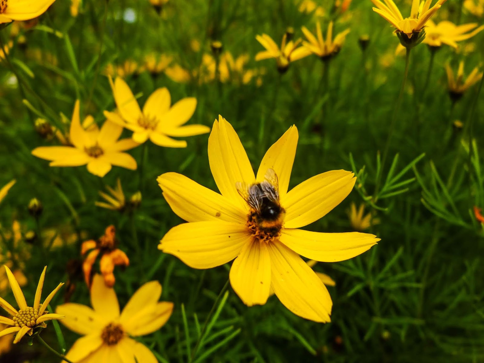 A bee sitting in the centre of a Coreopsis flower.