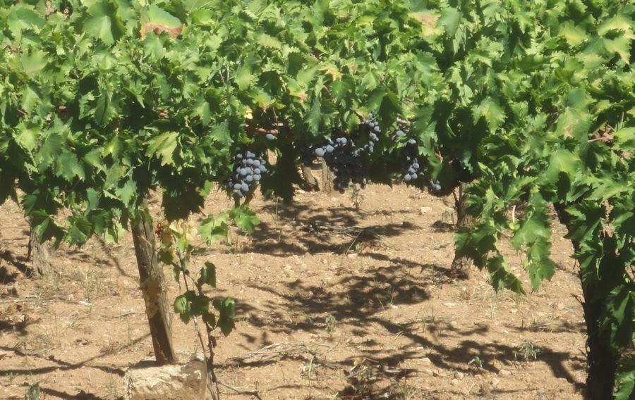 vineyard in Francavilla Fontana