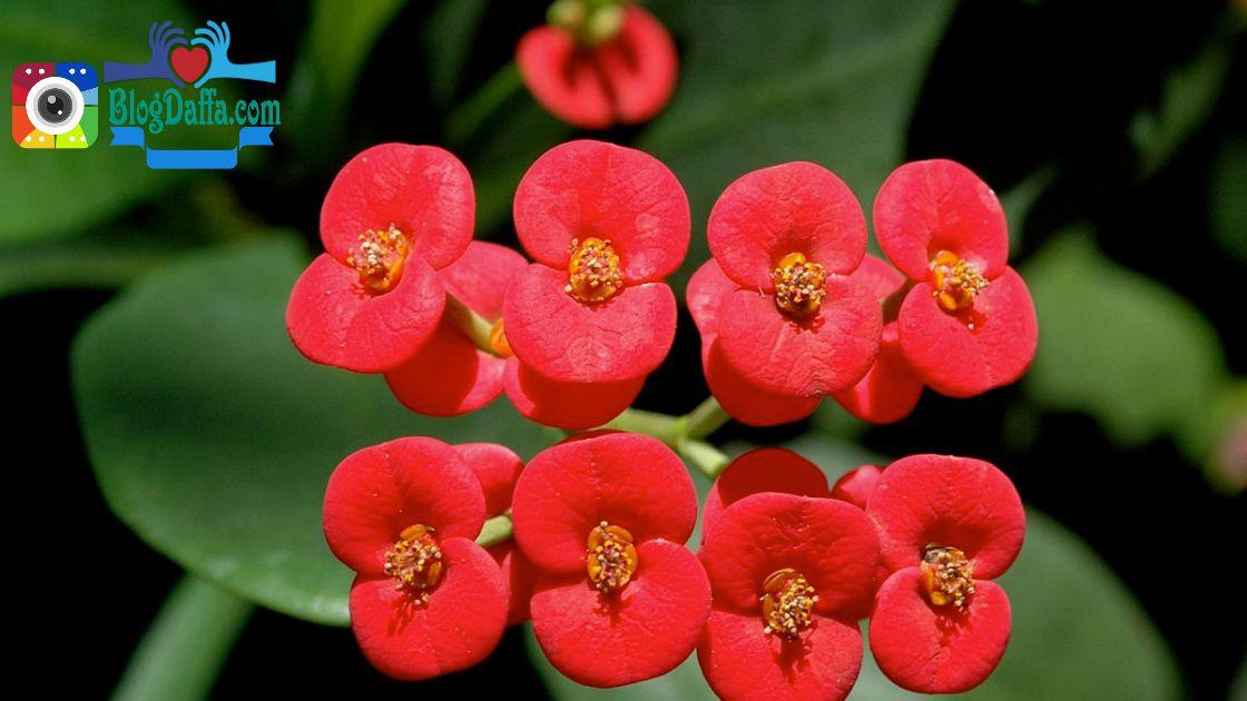 Tanaman hias outdoor Bunga Euphorbia