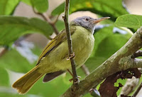 Deleornis axillaris